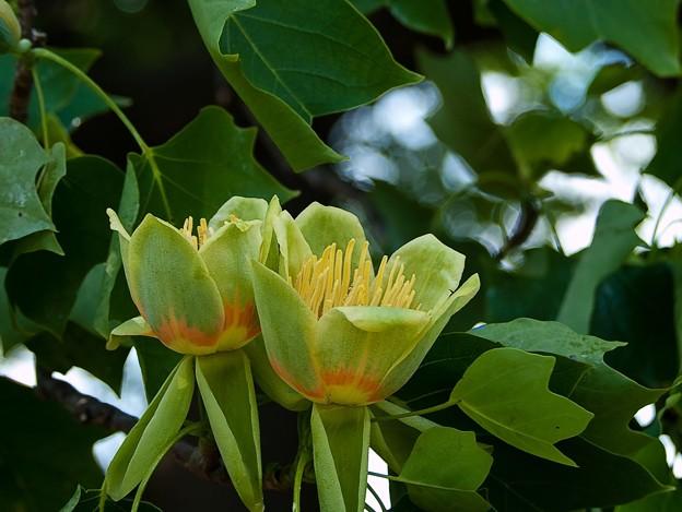 P5097940s百合の木の花