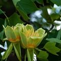 Photos: P5097940s百合の木の花