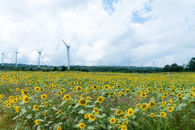 Photos: 風と向日葵の丘