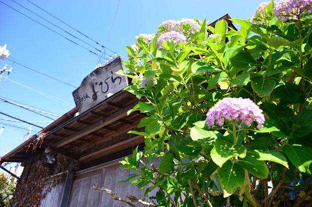 初夏繡球花