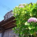 写真: 初夏繡球花