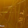 Photos: 蜘蛛と稲穂