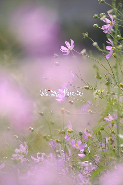 秋桜ファンタジー