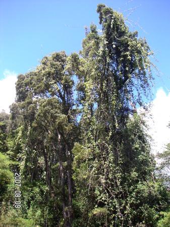 ジブリに出てきそうな木