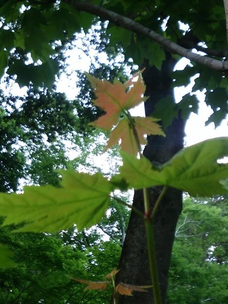 ハナノキの新芽