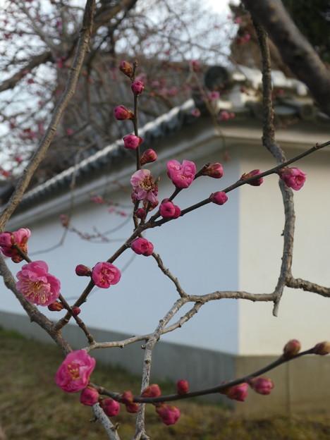 弘道館裏塀 八重寒紅