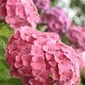 Photos: 雨上がりの紫陽花