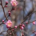 Photos: 初紅梅