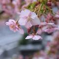 Photos: 河津桜6