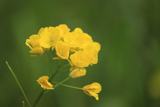 写真: 菜の花1