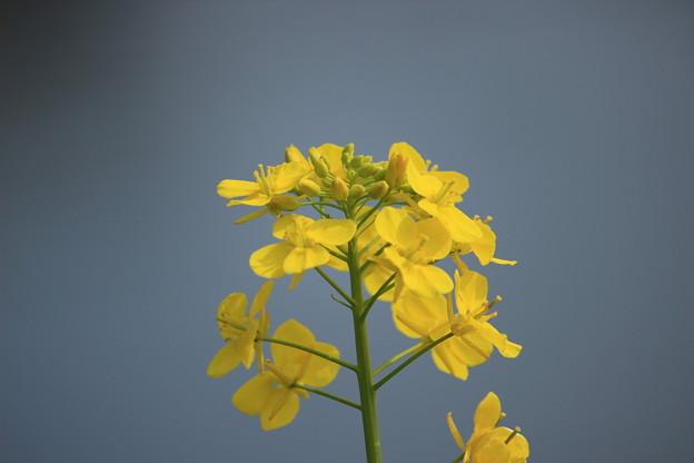 写真: 菜の花3