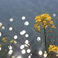 キラキラ菜の花1