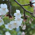 いろんな桜3