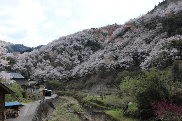 山里の桜1