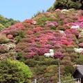写真: ツツジの山