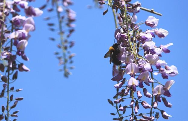 写真: 藤の花とアブちゃん
