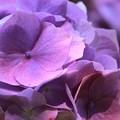 写真: 紫陽花7