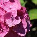 写真: 紫陽花8