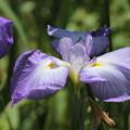 写真: 薄紫の菖蒲1