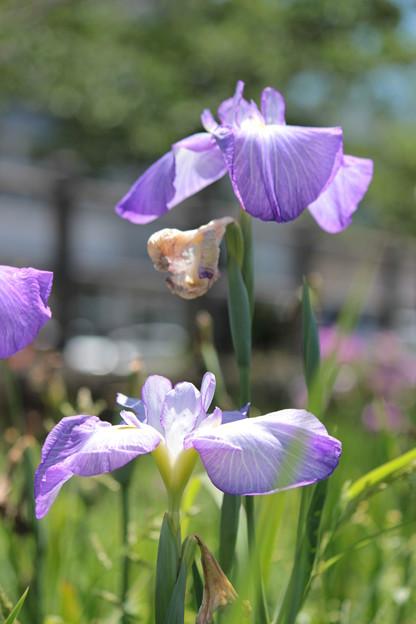 薄紫の菖蒲2