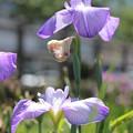 写真: 薄紫の菖蒲2
