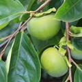写真: 夏の柿