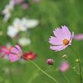 写真: ピンクのコスモス