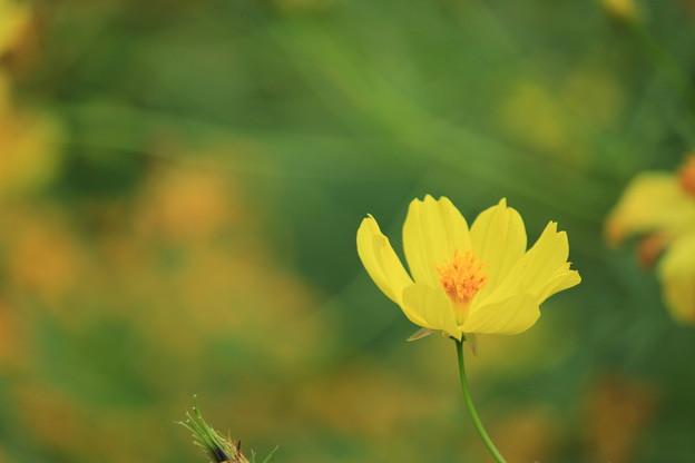 写真: 黄色いコスモス