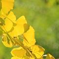 写真: 黄色い輝き