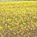 写真: 菜の花6