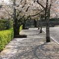 桜の絨毯(作成中)