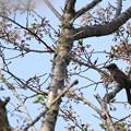 Photos: 「桜も終わるなぁ・・・」