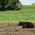Photos: 考える牛さん