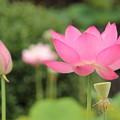 ピンクのハス1