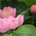 ピンクのハス3
