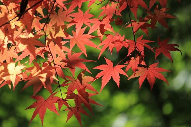 白馬渓の紅葉1