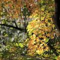 Photos: 白馬渓の黄葉2