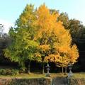 Photos: お寺とイチョウ3