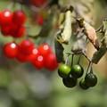 Photos: 緑のヒヨドリジョウゴ