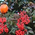 Photos: 柿と南天