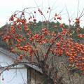 Photos: 柿の木は残った