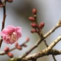 Photos: ピンクの梅