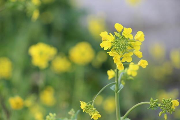 Photos: 菜の花2