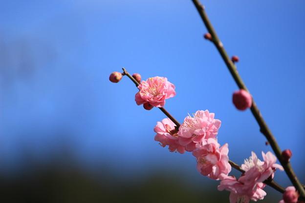 Photos: 青空に紅梅