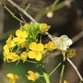 Photos: 菜の花3
