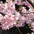 Photos: 河津桜3