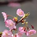 Photos: 河津桜5