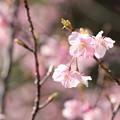 Photos: 河津桜7