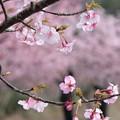Photos: 河津桜8