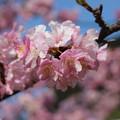 Photos: 河津桜10